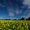 大久保の菜の花畑