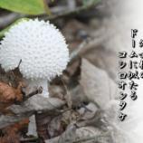 『コシロオンタケ』の画像