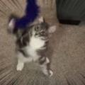 子ネコが「ねこじゃらし」で遊んでいた。ほ~れほれ♪ → 人間は必要ないようです…