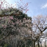『意賀美神社 梅苑 2020年』の画像