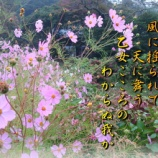 『フォト短歌「秋桜」』の画像