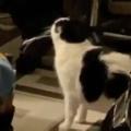 【ネコ】 お父さんがパソコン作業をしていた。猫がやってくる → なかなか満足してくれません…