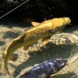 『黄金色に輝く鯉:皆様の財運が上がりますように。』の画像