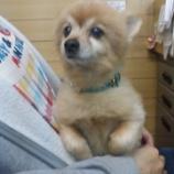 『大映ミシンのマスコット犬 名前はゴンタ ゴンタは中国から来ました!!!』の画像