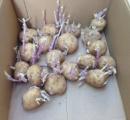 強い中毒を引き起こす身近にある野菜 ジャガイモ インゲン豆に要注意