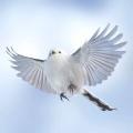 【画像】北海道の「シマエナガ」とか言う鳥を見てみろwwwwwwwwwwwwww