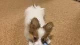 ワイ(22)『犬でも飼ってみようかな…値段どれくらいやろ…』ダックスフンド『25万!』豆柴『20万!』(※画像あり)