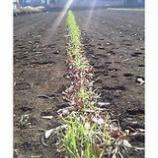 『麦畑』の画像