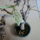 『藤の木』の画像