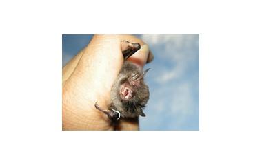 『昼間のコウモリ』の画像