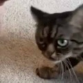 【ネコ】 飼い主が床に手をかざして動かす。すると猫がやってきてスリスリする → と思ったら…