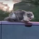 「ニャンてことだー」高速道路を走る車の屋根に猫が必死につかまるw
