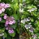 紫陽花喜ぶ