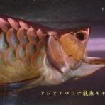 アジアアロワナ龍魚ギャラリー★ブログ編★