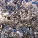 『枝垂れ桜が咲き誇りました。』の画像