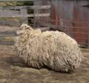 【画像】6年前に森で行方不明になった羊が変わり果てた姿で発見される