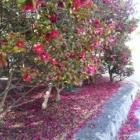 『山茶花の小道を』の画像