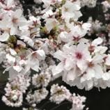 『雨の桜』の画像