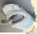 """フグの""""最後の抵抗""""、食いついたサメ窒息死"""