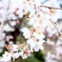 2019-4-14 三春滝桜