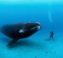 北大西洋で大型の鯨(大西洋セミ鯨)が大量死