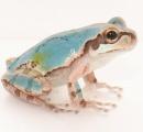 【画像あり】全身まっ青の珍しいアマガエル