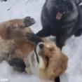 モフモフ好きにはたまらない…人懐っこいキツネがいっぱい(動画)