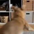 イヌが床で遊んでいた。スイッチが入る → 犬、どうにもとまりません…