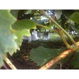 『葡萄のみのる季節』の画像