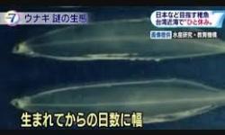 """ウナギの稚魚は台湾で""""ひと休み""""? 研究機関の分析で判明"""