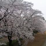 『桐生市役所の桜 / 群馬 桐生 お花見』の画像