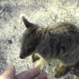 『オーストラリア ケアンズ旅行記13 ロックワラビーの餌やりがとても癒される』の画像