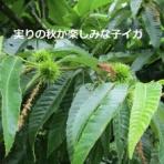 白山神駈道の風露草(かみかけみちのふうろそう)