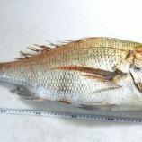 『国東の食環境(58)・体長70㎝の鯛』の画像