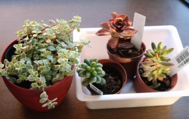 『おうち時間が楽しくなる【多肉植物】4種類買いました!!』の画像
