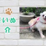 『【動画】保護犬紹介 | チワワのきなこちゃん♪ 甘えん坊な女の子♪ 推定8~10歳 Chihuahua』の画像