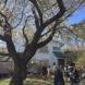 伊豆正観荘の桜