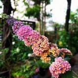 『蝶が集まる花💕ブッドレア♪』の画像