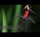 【悲報】オーストラリアでガチでヤバい虫が発見される