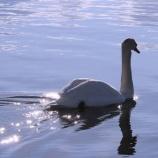 『泳鳥跡煌:湖の白鳥』の画像