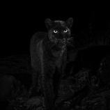 『闇と瞑想:アフリカで110年ぶりに野生のクロヒョウを確認』の画像