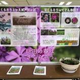 『【戸田市役所】戸田市の花・さくらそうが、戸田市役所2階展示ロビーに展示されています。外出自粛にご協力いただいている中、市役所にお越しになれない方に写真でご報告いたします。』の画像