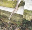 約2mのヘビの抜け殻発見 20年前にもそっくりな殻 再会か子孫か、ヘビだけに真相はやぶの中