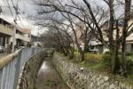 前川沿いの桜並木は通学路の楽しみの1つ〜交野タイムズがオススメする地元の桜スポット〜