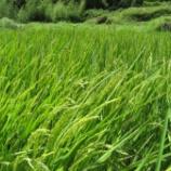 『朝の水管理には稲の開花が見られます』の画像