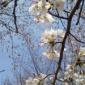 おはよ~💕(o⌒∇⌒o)  今日から雨やね☂️ 桜が散らない...