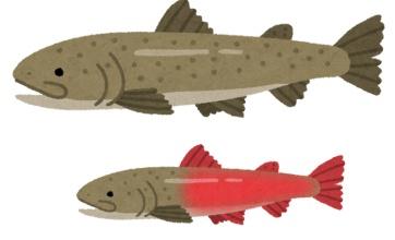 幻の魚「イトウ」が7つの河川に存在していることが判明!!