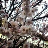 『万葉の花の道に梅が美しく咲いています』の画像