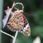 『【ピノ子観察日記】ツマグロヒョウモンが羽化しました。』の画像