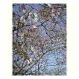 『山桜』の画像